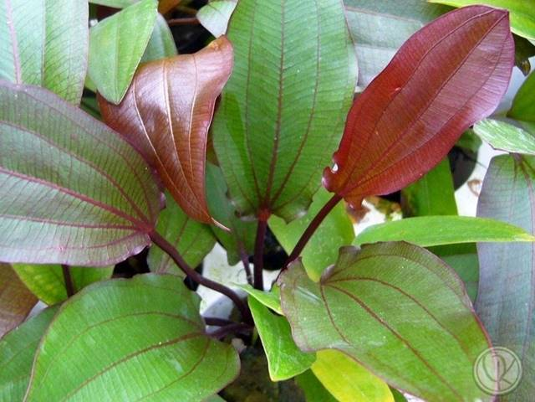 Echinodorus-Regine-Hildebrandt