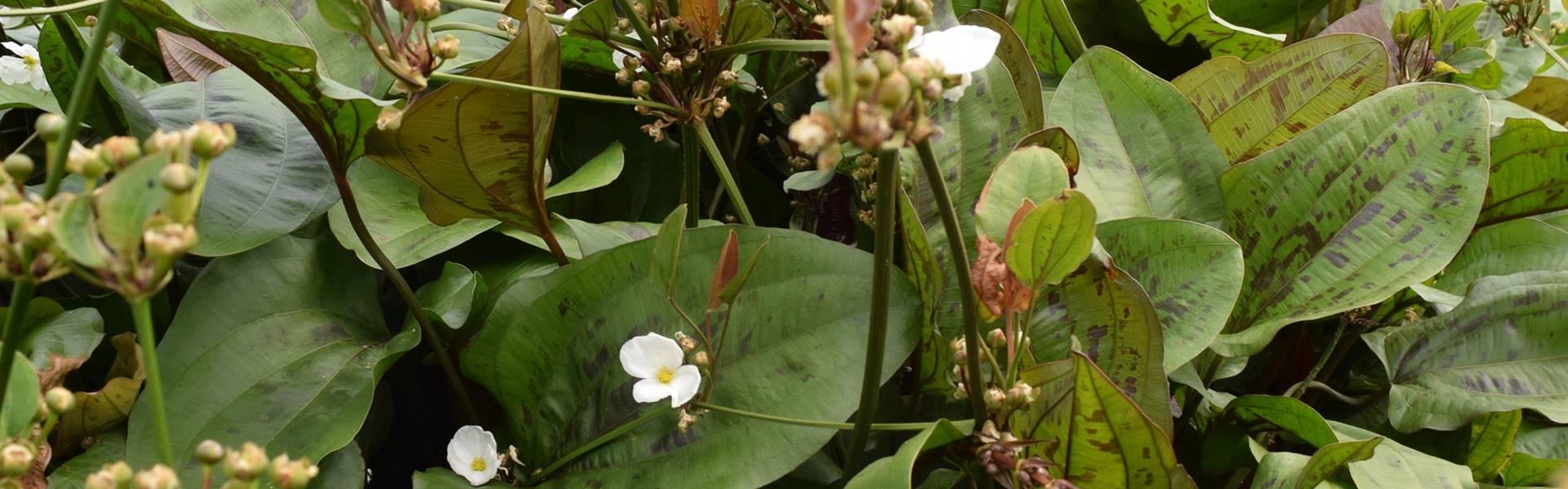 Echinodorus Blütenstand
